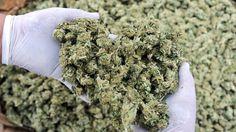 El anunciado negocio de marihuana de Monsanto en Uruguay