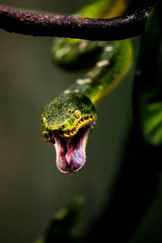 ♂ Wildlife animal photography Green Snake Attack! by Justin Lo