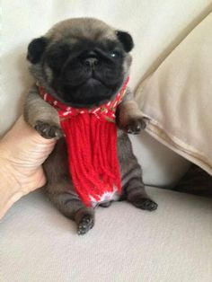 Sooooo cute! Snugly lil Puggy