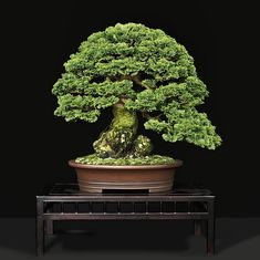 Easy To Grow Houseplants Clean the Air Hinoki Cypress Chamaecyaris Obtusa By Suthin Hinoki Cypress, Bonsai Soil, Bonsai Styles, Indoor Bonsai, Inside Plants, Miniature Plants, Deciduous Trees, Garden Trees, Small Trees