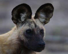 African wild dog - Some of the most elusive animals to photograph. Constantly on the move we were lucky to come spot a hunting pack  Photo by Hans Wagemaker — National Geographic Your Shot