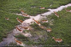 Red lechwe @ Okavango Delta in #Botswana. See #Okavango travel guide: http://www.safaribookings.com/okavango