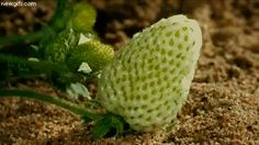 It can show a young strawberry becoming an adult…   15 Time-Lapse GIFs That Will Change The Way You See The World