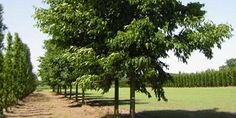 Udenhout Trees; 600 boomsoorten op 160ha. In allerlei vormen en maten. Op de kwekerij kijken om een keuze te maken.