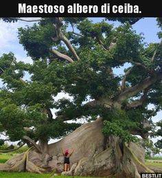 Majestic Tree 🌳 of Ceiba. Giant Tree, Big Tree, Weird Trees, Cool Illusions, Baobab Tree, Magical Tree, Unique Trees, Old Trees, Tree Sculpture