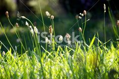 Sunlit Grass with Pollen Seed Heads Royalty Free Stock Photo Images Of Peace, Spring Time, Grass, Zen, Seeds, Royalty Free Stock Photos, Flowers, Photography, Photograph