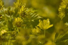 This is a close up of some light green flowers on a tree at Crescent Bar, Washington. Kyler L Photography.
