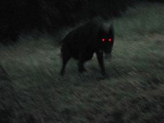 Black Shuck is one of the world's scary creatures that may actually exist. Teen Wolf, Black Shuck, Half Elf, The Ancient Magus Bride, Kairo, The Villain, Dragon Age, Beast, Pictures