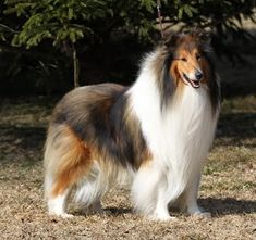Collies Of The Windy Lands