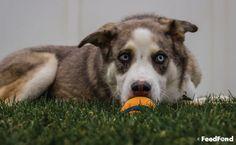 Complete Guide to Australian Shepherd Husky Mix Breed Dog Australian Shepherd Husky, Husky Mix, Mixed Breed, Cute Dogs, Corgi, Puppies, Animals, Corgis, Cubs