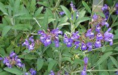 Rostopasca și binefacerile ei fără număr   Paradis Verde Salvia Officinalis, Health, Garden, Nature, Paradis, Darken Hair Naturally, Alzheimer's Dementia, Kidney Failure, Cholesterol Levels