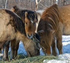 "yakut horses by ajar varlamov, via 500px.  Per Wikipedia, The Yakut horse ""is a rare native horse breed from the Siberian Sakha Republic (or Yakutia) region."""