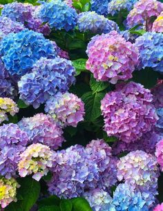 Peonies And Hydrangeas, Hydrangea Colors, Hydrangea Painting, Hydrangea Garden, Hydrangea Flower, Hydrangea Landscaping, Cut Flower Food, Pink Flowers, Beautiful Flowers