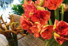 Vibrant red amaryllis