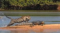 When a jaguar pounces, sometimes one bite is all it takes to get a meal. National Geographic has exclusive video of a jaguar taking down a caiman in Brazil's Pantanal wetlands, photos of which went viral earlier this month. Luke Dollar, a conservation scientist who helps manage National Geographic's Big Cats Initiative, explains the hunt and explosive moment of predation.