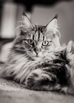 Maine Coon. Ralphy's cousin!  Look at the length of the whiskers.  Typical Maine coon trait.