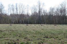 Metskits / Roe deer / Capreolus capreolus kaber : kabra : kapra 'metskits (Capreolus)' View th. Fog Images, Roe Deer, Instagram