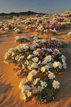 Evening primrose on the sand dunes in the Mojave Desert - Flores do deserto. Desert Flowers, Desert Plants, Wild Flowers, Beautiful World, Beautiful Places, Desert Life, Mojave Desert, Evening Primrose, Amazing Nature