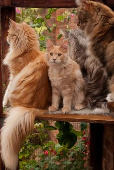 25% Maine coon cats