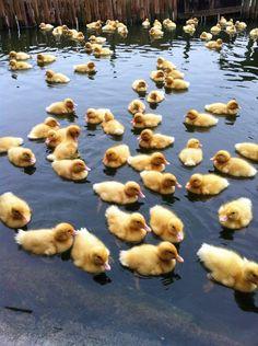 Baby ducks.  Baby ducks EVERYWHERE.