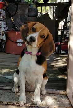 Beagle dog for Adoption in Albuquerque, NM. ADN-704904 on PuppyFinder.com Gender: Female. Age: Young #Beagle
