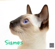 siames
