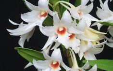 Orquidea da espécie Dendrobium draconis, uma das mais encontradas. Foto: Divulgação