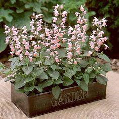 Pink Salvia