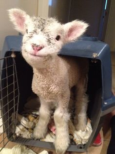 Lamb. In a pet carrier. Smiling