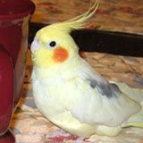 Cockatiel Cottage, Cockatiels, basic care and general information on the cockatiel, cockatiel information, cockatiels basic care, diet, nutrition, pellet diets, health, illness, behavior, taming, behavior problems, biting, sickness, symptoms of a sick cockatiel, breeding,handfeeding, how to stop females from laying eggs, egg laying and single cockatiels, egg binding, broken blood feathers, blood feathers, baths and bathing, how to disinfect and clean a bird cage, symptoms of sick birds…