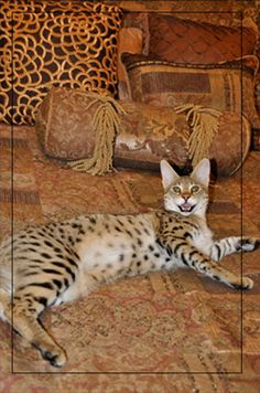 Savannah Cat Breeders Savannah Kittens For Sale Cats Breeder Texas TX, My new babies momma