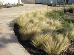 drought resistant: Mexican Feathergrass                                                                                                                                                                                 More