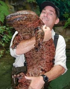 """The Japanese giant salamander (Andrias japonicus) is endemic to Japan, where it is known as Ōsanshōuo (オオサンショウウオ/大山椒魚?), literally meaning """"giant pepper fish"""". With a length of up to almost ft. The Chinese Giant Salamander grows to 6 ft. Unusual Animals, Rare Animals, Animals Beautiful, Strange Animals, Interesting Animals, Animals Amazing, Extinct Animals, Interesting Facts, Weird Creatures"""