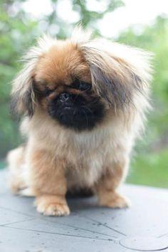 Já conhece o Pequinês? É amor à primeira vista! #cachorros #animais #pets #pequinês #raças