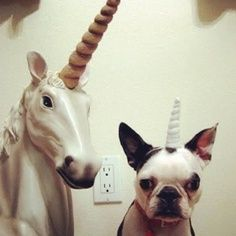 Boston Terrier Unicorn - My two favorite things! Boston Terrier Love, Boston Terriers, Bulldogs, Mardi Gras, Funny Animals, Cute Animals, Party Animals, Puppy Love, Animal Pictures