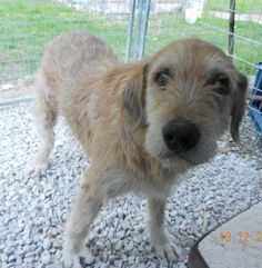 Bo is an adoptable Dog - Airedale Terrier & Irish Wolfhound Mix searching for a forever family near Hagerhill, KY. Use Petfinder to find adoptable pets in your area.