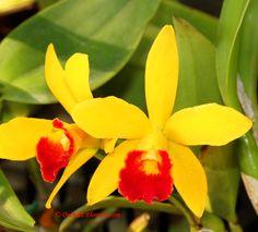 Brassolaeliocattleya Little Toshie x Laeliocattleya Loog Tone, orchid hybrid