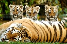 Three eleven week old Siberian Tiger cubs with mommy