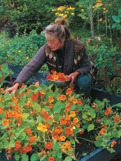 Edible Flowers Enliven a Garden - Vegetable Gardener - Nasturtiums