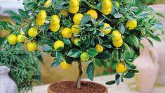 Лимонное дерево в домашних условиях: от маленькой косточки до первого урожая за 7 шагов | Нескучный дизайн интерьера | Яндекс Дзен