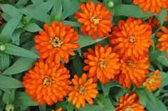 Zinnia Zahara Double Fire- deer resistant annual for hot sun
