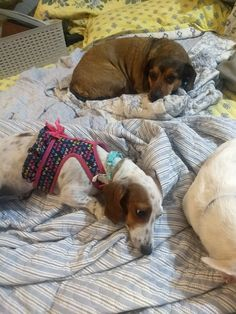Weenie Dogs, Doggies, Miniature Dachshunds, Sausage Dogs, Dapper, Baby, Animals, Small Dogs, Little Puppies