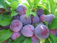 Growing plums in cold weather. This article is from Russia.