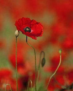 Single Poppy. (Print) by Bill Pound❤️