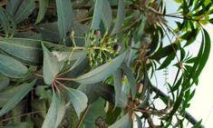 Crûg Farm Schefflera taiwaniana × gracilis