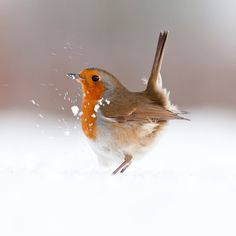 """Territorial strut"""" by Ross Hoddinott, UK Animal Portraits, highly commended 2011 In December 2010 Ross's garden in Devon was covered in thick snow Open to young, amateur and professional photographers worldwide, the 51st Wildlife Photographer of the Year Competition launches for entries on Monday, January 05th, 2015."""