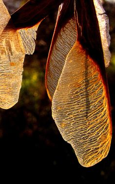 ~Autumn~ Maple Wings