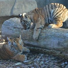 Baby tigers at the Toledo Zoo.