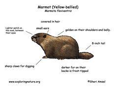 Marmot (Yellow-bellied)