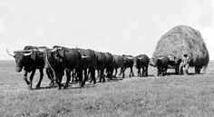 De Oude Huize Yard: The ox-wagons of South Africa Zebu Cattle, African Great Lakes, King Solomon's Mines, African History, East Africa, Old West, Ox, Livestock, Animal Drawings